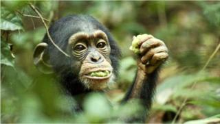 Chimpanzee-oscar-disney