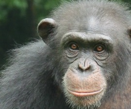 Chimp_closeup_sanctuary