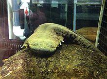 Hellbender_Salamander