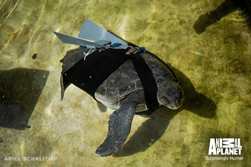Apl-bites-turtle-prosthetic-500w